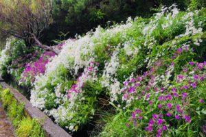 bloemen langs de wandeling Levada dos 25 fontes